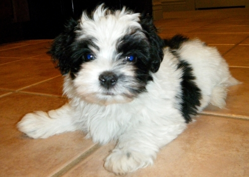 Kc Reg, Havanese puppies for sale - Dogs