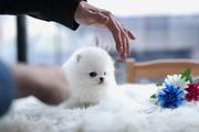 DSJSD Stunning,  miniature White Pom  07031956739